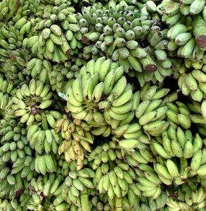 banana abundance2: multiple bunches of green bananas