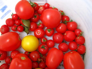 tomato bucket (4): various ripe tomatoes collected in a bucket