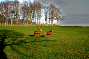 Red Deer: Two Red Deer stags, Tatton Park, Cheshire, England