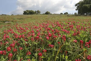 Red clover: Field of red clover in southern Spain.