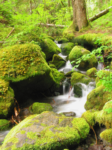 Forest Stream: A cold stream in the Pacific North West
