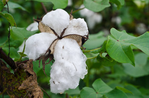 American Southern Cotton: Cotton and cotton fields from an old slave plantation in the Carolinas, USA. The cotton is almost ready for picking, photo taken in late September