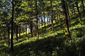 Fir forests
