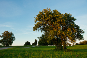 Malus sylvestris: a wonderful couple of Malus sylvestris in the last sunlight of the day - Bavaria, Germany