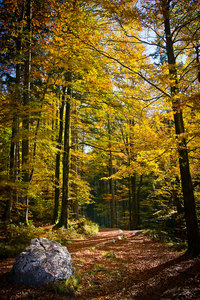 Autumnal Golden Beech Forest: Beech Forest in autumnal look - yellow and golden Leaves, a Path and a big rock in the foreground. Location ist the Mountaims high above the Lake Koenigssee in Germany