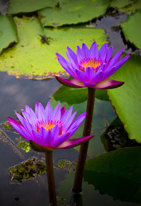 Waterlily - blue Lotus