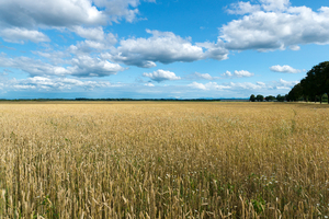 Wheat Fields: Endless Wheat Fields in the Alpine Foothills, Bavaria. Farm - Nursery and the Alps in the Background