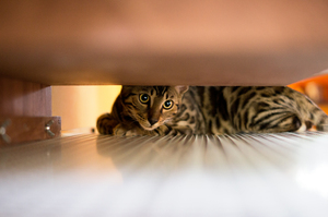 Bengal Cat under Cupboard: Young Bengal Cat under Cupboard - a little squeezed :)
