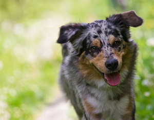 Australian Shepherd: Australian Shepherd looking attentive towards Viewer