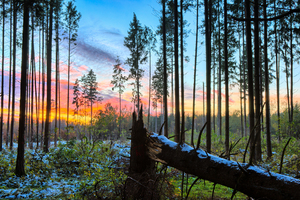 Sunset in snowy Spruce Forest