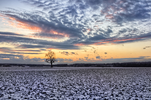 Oak Tree on snowy Fields at Su: Single Oak Tree on snowy Fields  at Sunset