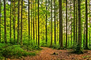 Natural Forest - Sunburst