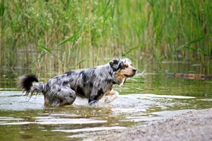 Australian Shepherd playing in