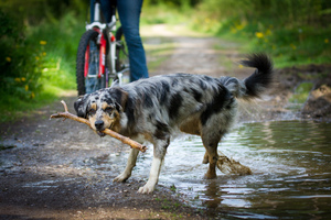 Australian Shepherd: Australian Shepherd playing in the Woods
