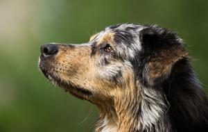 Puppy - Australian Shepherd
