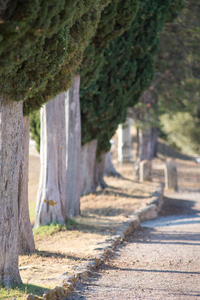 Cypress Trees in a Row