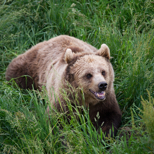 Angry Brown Bear in Grass