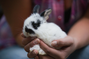 Baby Rabbit: Baby Rabbit sitting in Hands, shallow DOF