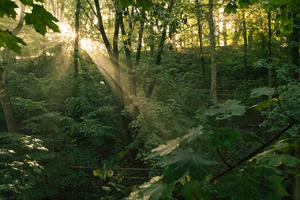 sunburst in floodplain forest