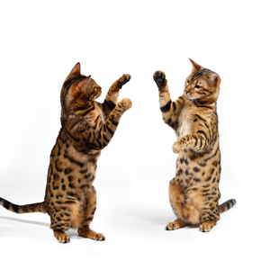 Bengal Cats fighting