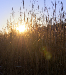 Sun shining through dry Reeds