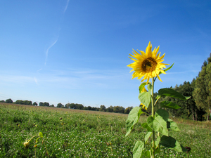 field with sunflower