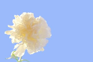 White Carnation and Sky