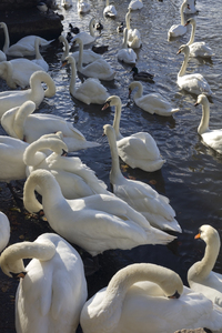 Swans: Mute swans (Cygnus olor) and other birds coming ashore to preen by the river in Windsor, England.