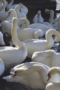 Swans: Mute swans (Cygnus olor) and other birds preening their feathers by the river in Windsor, England.