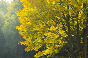 Fall foliage: Light  leaves in fall