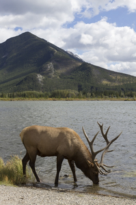 Elk drinking: An elk (also called wapiti, Cervus canadensis) drinking at a lake in the Rocky Mountains, Canada.