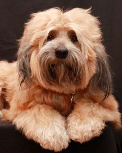 Tibetan Terrier Dog 4