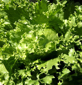 fresh garden lettuce1: lettuce variety growing in home garden