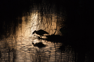 Wildfowl Silhouette