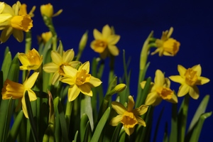 Easter daffodils: Easter daffodils with illuminated blue background.