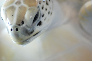 Sea Turtle: Sea Turtle close