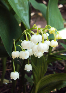 Lily of the valley: My first attempt at growing lily of the valley.  They are delightful growing in a small cluster.