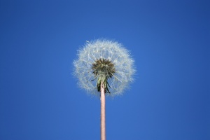 Dandelion against blue sky