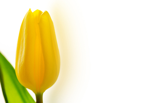 Yellow tulip copy space: Beautiful yellow tulip against white background with copy space