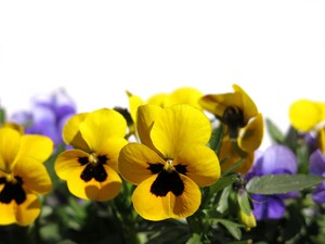 pansies on white