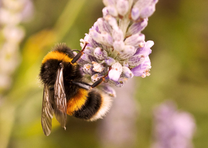 Bee on Lavender 2