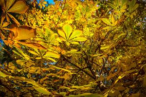 chestnut foliage background