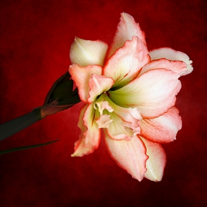 Passion Flower (Amaryllis #2)