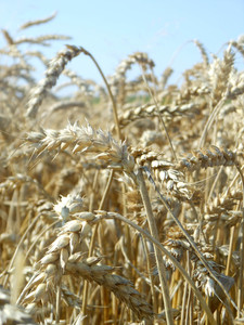 wheat 2: ears of wheat before harvest