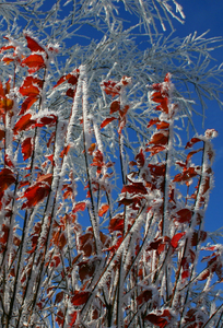 frozen red leaves 2