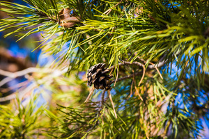 Fir-cones: Fir Tree