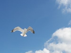 Flying Seagull 1