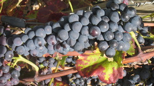 Wine grappe: a mature wine grappe from the French Lyon wine area