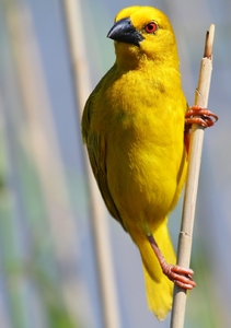 Yellow Finch/Weavers 1
