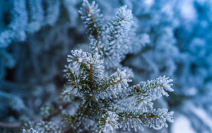 Frozen fir branches